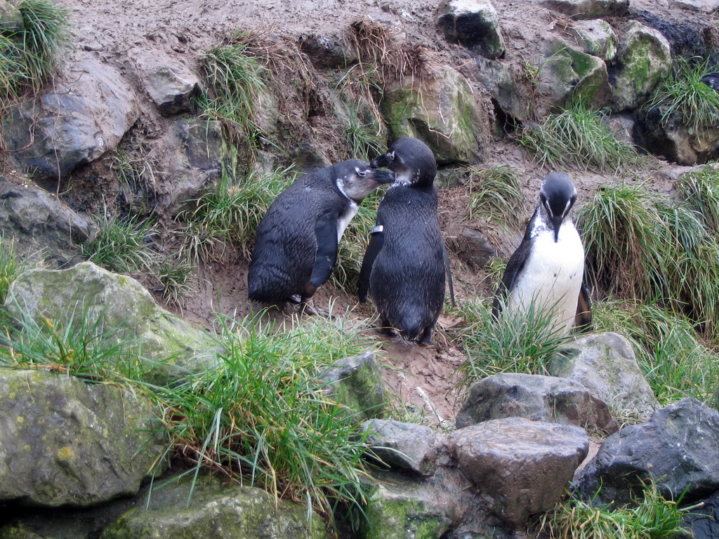 African Penguins at Burgers` Zoo