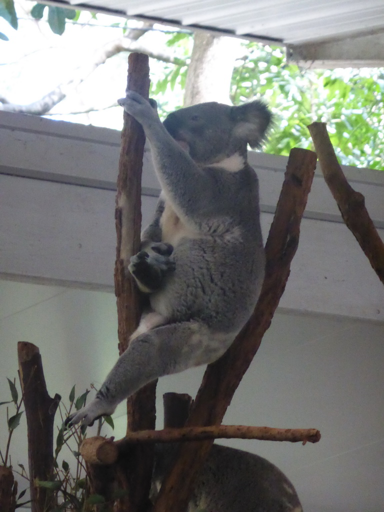 Koala at the Lone Pine Koala Sanctuary