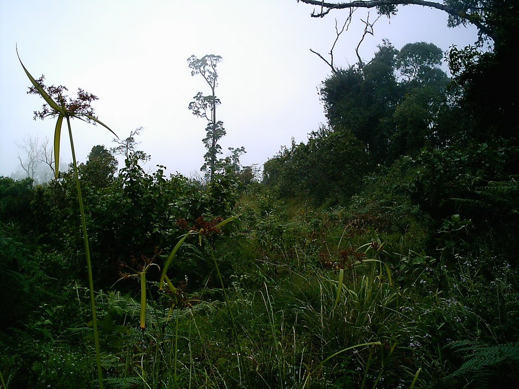 Trees and plants at the slopes of Mount Cameroon