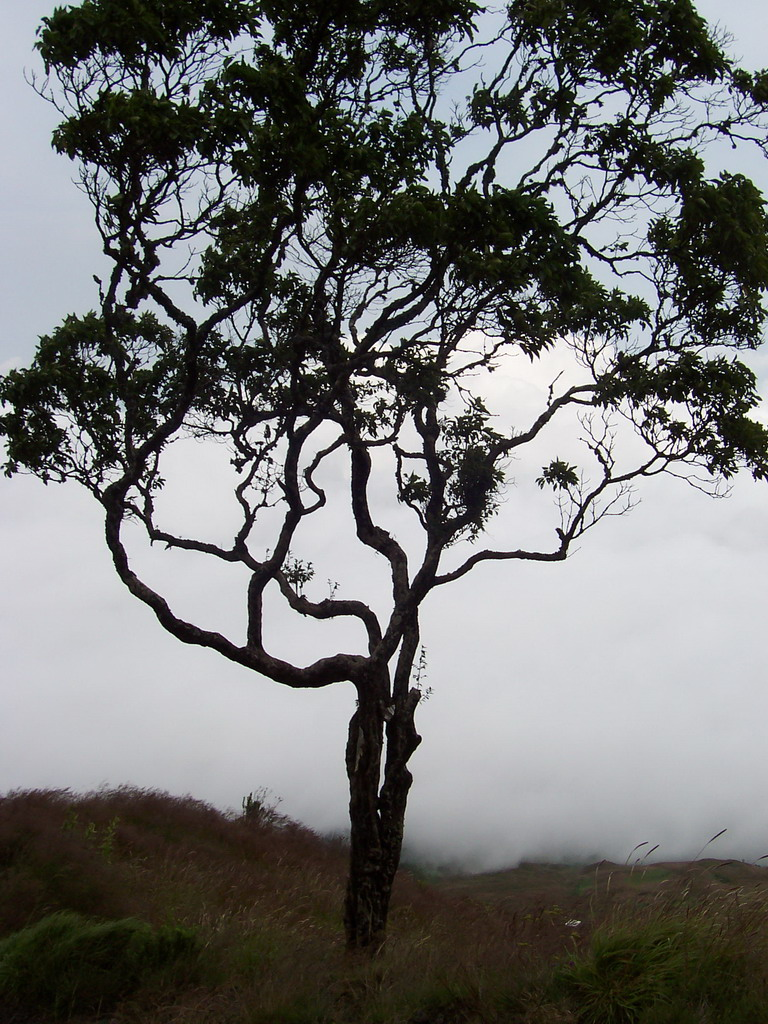 Tree and grass at the slopes of Mount Cameroon