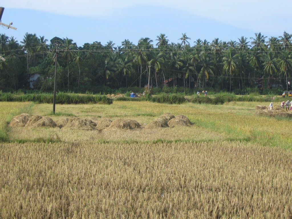 Rice fields next to the M�e de Deus Church at Saligao
