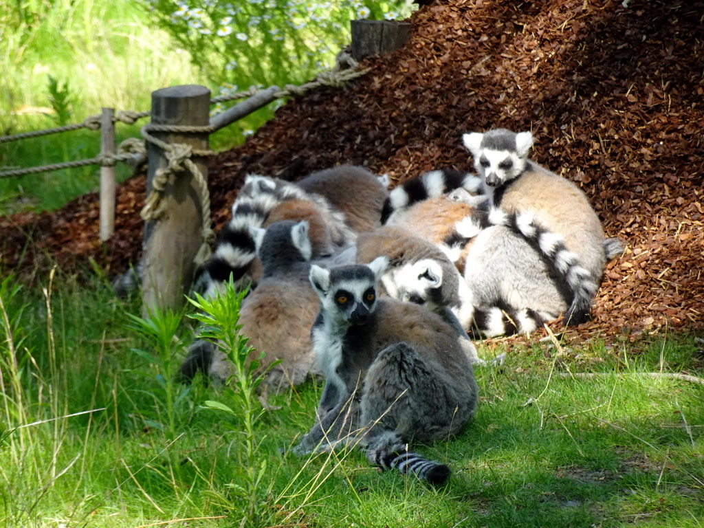 Ring-tailed Lemurs at the Safaripark Beekse Bergen