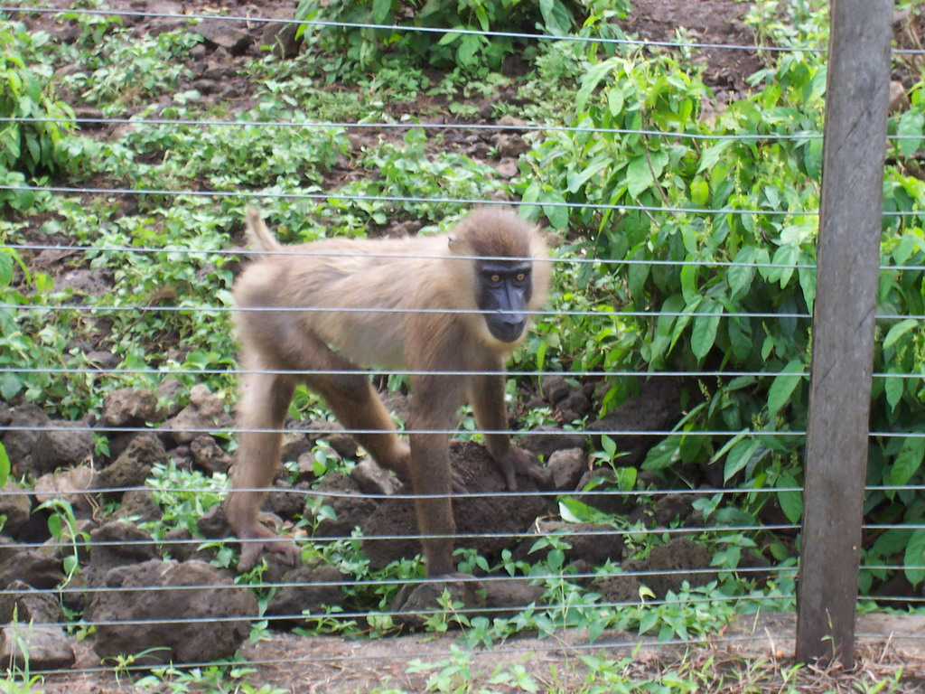 Baboon at the Limbe Wildlife Centre