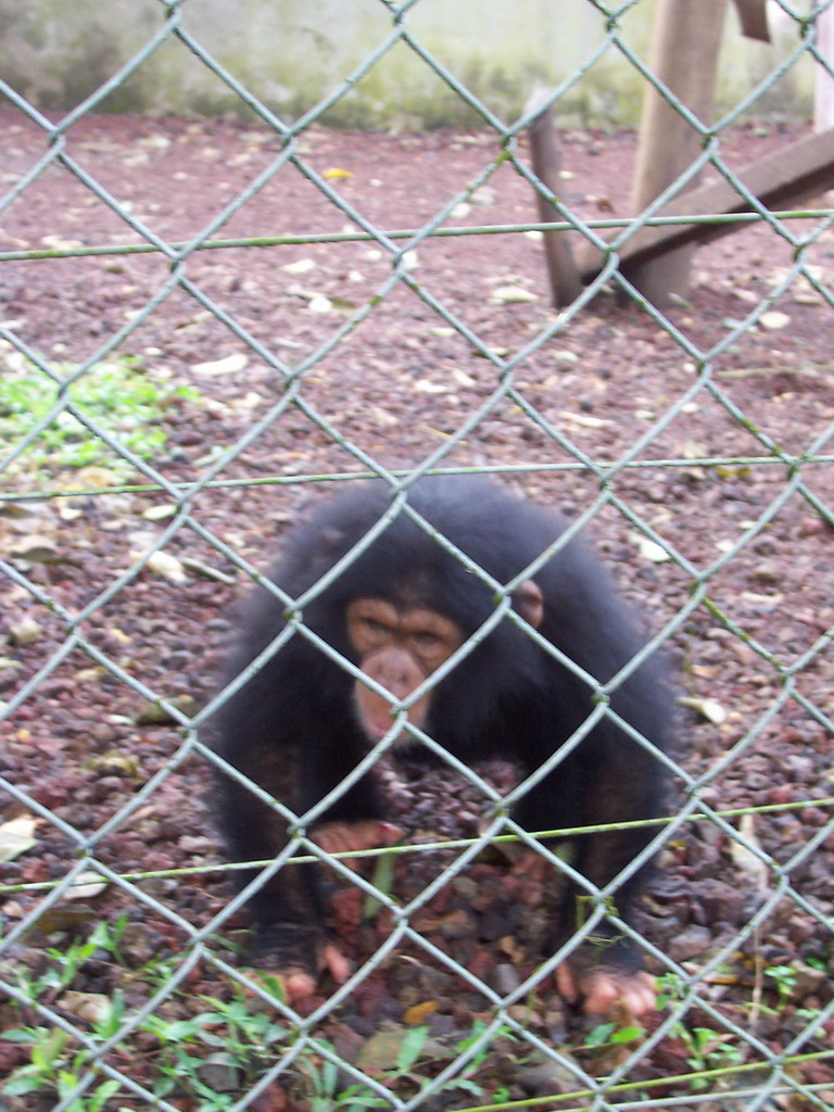 Young Chimpanzee at the Limbe Wildlife Centre