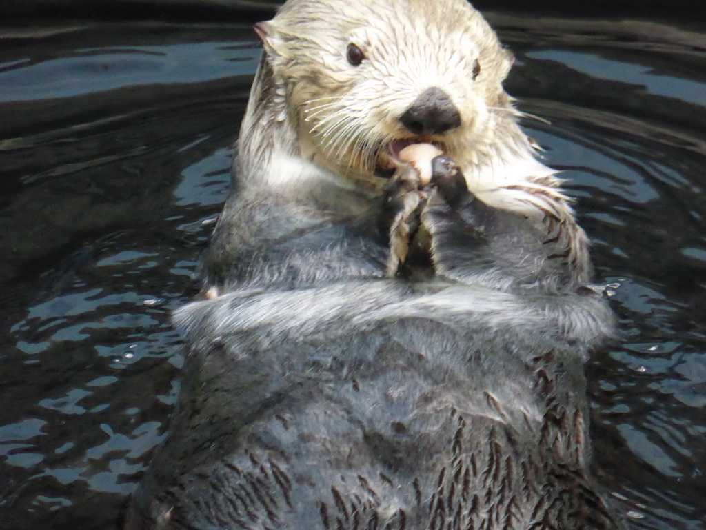 File:Sea otter eating crab.jpg - Wikimedia Commons |Sea Otters Eating Bears