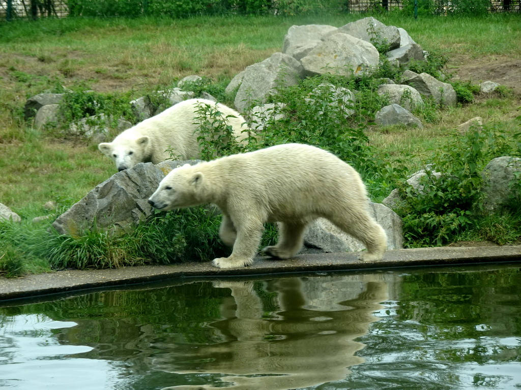 Young Polar Bears at the Dierenrijk zoo